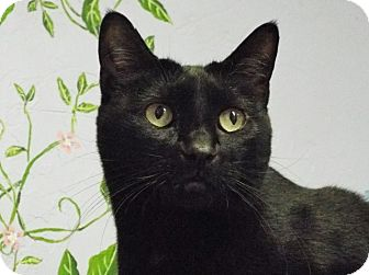 Domestic Shorthair Cat for adoption in Grants Pass, Oregon - Lizzy