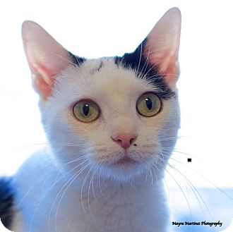 Domestic Shorthair Cat for adoption in Knoxville, Tennessee - Vina