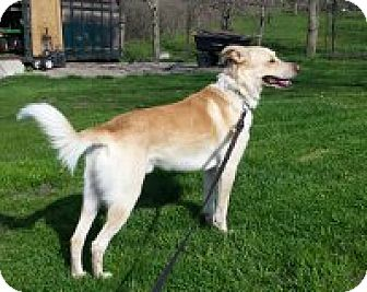 Shepherd (Unknown Type)/Collie Mix Dog for adoption in Woodstock, Ontario - Tucker