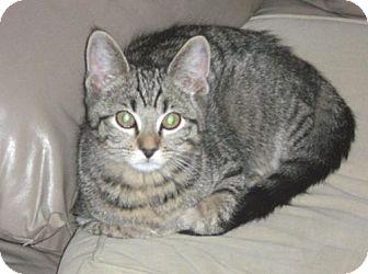 American Shorthair Kitten for adoption in Libertyville, Illinois - Tyson