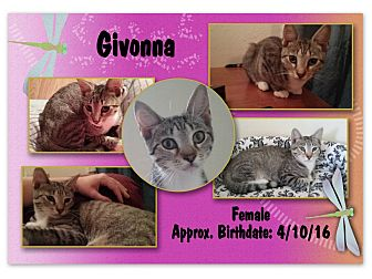 Domestic Shorthair Kitten for adoption in Evans, West Virginia - Givonna