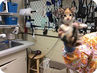 Domestic Mediumhair Kitten for adoption in Janesville, Wisconsin - Rain
