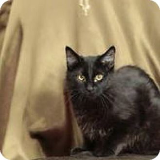 Domestic Shorthair Cat for adoption in Tehachapi, California - Kidd