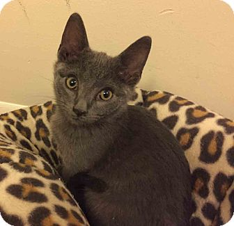 Domestic Shorthair Cat for adoption in Gaithersburg, Maryland - Grey Goose