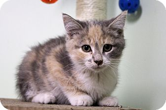 Domestic Shorthair Kitten for adoption in Murphysboro, Illinois - Teya