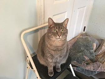 Domestic Shorthair Cat for adoption in Alpharetta, Georgia - Chloe