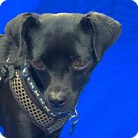 Adopt A Pet :: Ava - San Francisco, CA