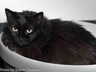 Domestic Mediumhair Cat for adoption in Albuquerque, New Mexico - ZOLIE