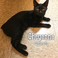 Adopt A Pet :: Cheyenne - Merrifield, VA