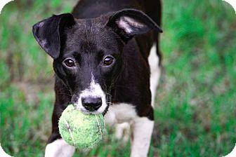 Rat Terrier/Labrador Retriever Mix Puppy for adoption in Virginia Beach, Virginia - CiCi