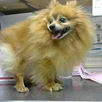 Adopt A Pet :: HONEYSUCKLE - Atlanta, GA