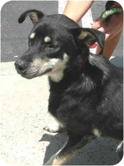 Shepherd (Unknown Type) Mix Dog for adoption in Vista, California - Buddy