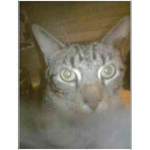 Domestic Shorthair Cat for adoption in Owasso, Oklahoma - Tulip