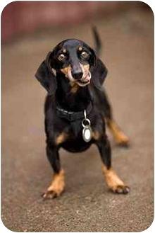 Dachshund Dog for adoption in Portland, Oregon - Henry