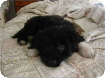 Schnauzer (Miniature)/Poodle (Toy or Tea Cup) Mix Puppy for adoption in Rochester, New Hampshire - Baby Andy Adopted
