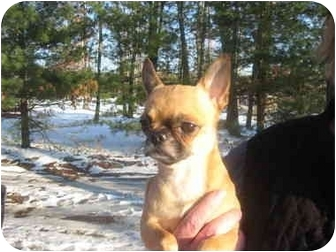 Pug/Chihuahua Mix Dog for adoption in Windham, New Hampshire - Cosmo
