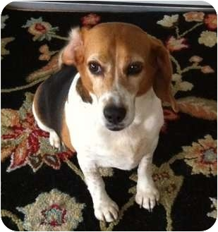 Beagle Dog for adoption in Freeport, Maine - Pepper - In Maine