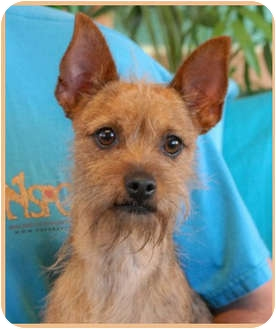 Brussels Griffon Mix Dog for adoption in Las Vegas, Nevada - Griffy