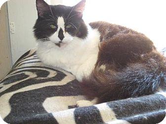 Domestic Mediumhair Cat for adoption in Coos Bay, Oregon - Romeo