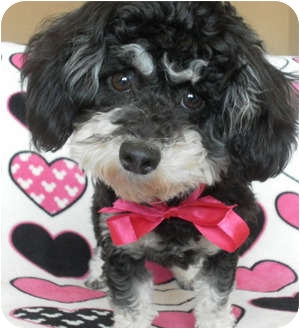 Maltese/Yorkie, Yorkshire Terrier Mix Puppy for adoption in Los Angeles, California - Mindy