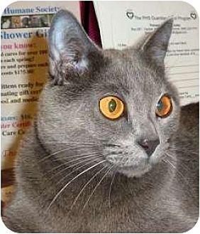 American Shorthair Cat for adoption in Carmel, New York - Vera