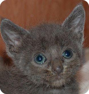 Russian Blue Kitten for adoption in Hot Springs, Arkansas - Zane