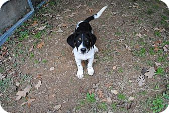 Bernese Mountain Dog Mix Puppy for adoption in East Hartford, Connecticut - Jax ADOPTION PENDING
