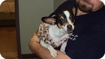 Rat Terrier Mix Dog for adoption in Mt. Vernon, Illinois - Pepper