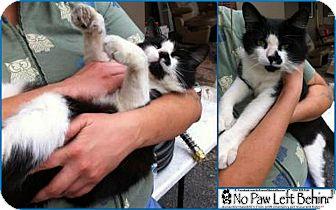 Domestic Mediumhair Cat for adoption in Davie, Florida - Sylvester
