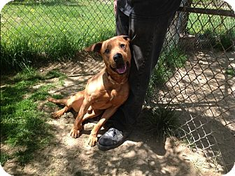 Labrador Retriever/American Staffordshire Terrier Mix Dog for adoption in Long Beach, New York - Toby