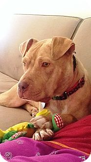 Pit Bull Terrier Mix Dog for adoption in North Wales, Pennsylvania - MAMA MIA
