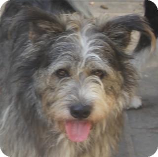 Schnauzer (Standard) Mix Dog for adoption in Norwalk, Connecticut - Finnegan - adoption pending