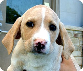 Beagle Mix Puppy for adoption in white settlment, Texas - Sammy