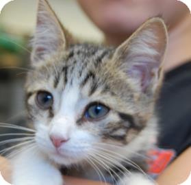 Domestic Shorthair Kitten for adoption in Brooklyn, New York - Charlotte