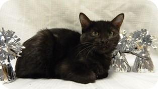 Domestic Mediumhair Cat for adoption in Columbus, Nebraska - Twinkle