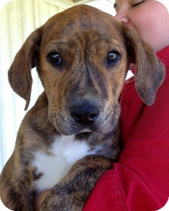 Mountain Cur Mix Puppy for adoption in East Hartford, Connecticut - Brindi-in CT