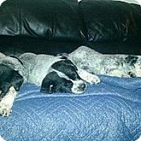 Adopt A Pet :: MALE PUPPIES - Oak Creek, WI