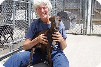 Italian Greyhound Dog for adoption in Elyria, Ohio - Valentino