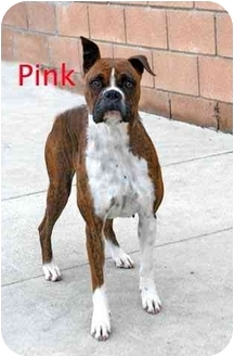 Boxer Dog for adoption in Encino, California - Pink