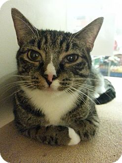Domestic Shorthair Cat for adoption in West Dundee, Illinois - Olive