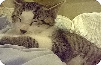 Domestic Shorthair Kitten for adoption in Speonk, New York - Lonnie