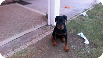 Doberman Pinscher Mix Puppy for adoption in Higley, Arizona - TAMMY