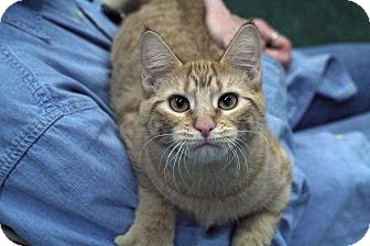 Domestic Shorthair Cat for adoption in St. Louis, Missouri - Rumi