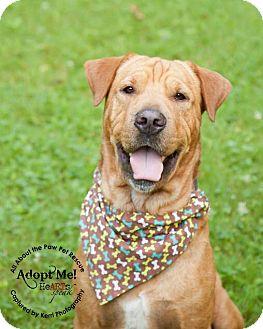 Shar Pei/Golden Retriever Mix Dog for adoption in Mansfield, Ohio - Rue