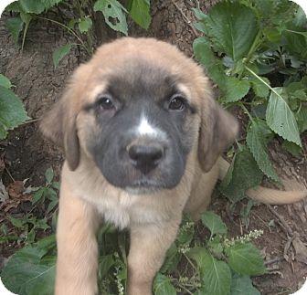 Great Pyrenees/Mastiff Mix Puppy for adoption in Sunset Hills, Missouri - Ainslee