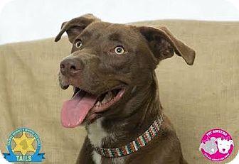 Labrador Retriever Mix Dog for adoption in Jacksonville, Florida - Hershey