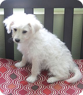 Poodle (Standard)/Terrier (Unknown Type, Medium) Mix Dog for adoption in Woonsocket, Rhode Island - Cartier