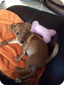 Dachshund Mix Puppy for adoption in Austin, Texas - Timmy