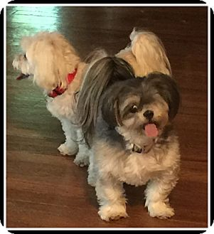Shih Tzu Dog for adoption in Indian Trail, North Carolina - Sassy