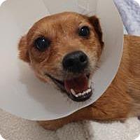 Adopt A Pet :: Piglet - Mt Gretna, PA